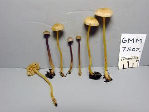 GMM7502